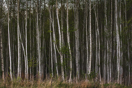 I've got 99 trees but a birch ain't one...